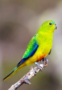Inger-Conservation-Orange-bellied-Parrots-1