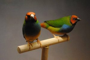 Gouldian x Blue Face Parrotfinch