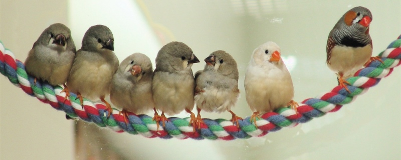 Zebra finches at different ages by Linda Dee