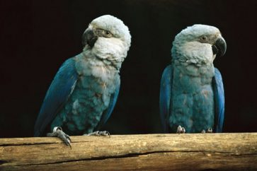 Spix's Macaw believed to be extinct in the wild