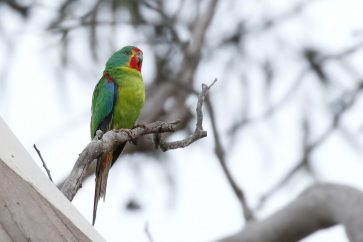 Gender imbalance further threatening the endangered Swift Parrot