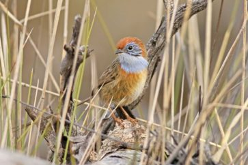 Mallee emu-wren recovering after local extinction