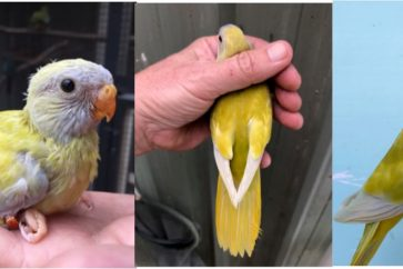 World-first Scarlet-chested parrot mutation for Australia