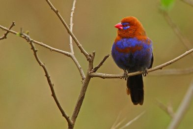 Purple Grenadier Waxbill
