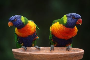 Rainbow lorikeet has been split into six distinct species