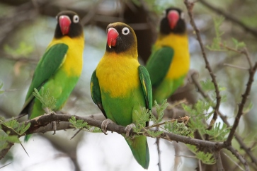 African Lovebird species in Australian aviculture